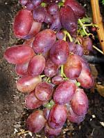 Саженцы винограда Магистр (ранний)