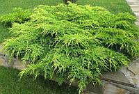 Можжевельник средний Пфитцериана Ауреа (Pfitzeriana Aurea) d - 110-120 см - 290 грн