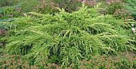 Можжевельник средний Пфитцериана Ауреа (Pfitzeriana Aurea) d -95-100 см - 190 грн