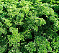 АСТРА - семена петрушки кучерявой 100 грамм, Moravoseed