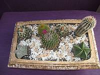 Композиция кактусов суккулентов в керамическом горшке