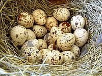 Яйцо перепела