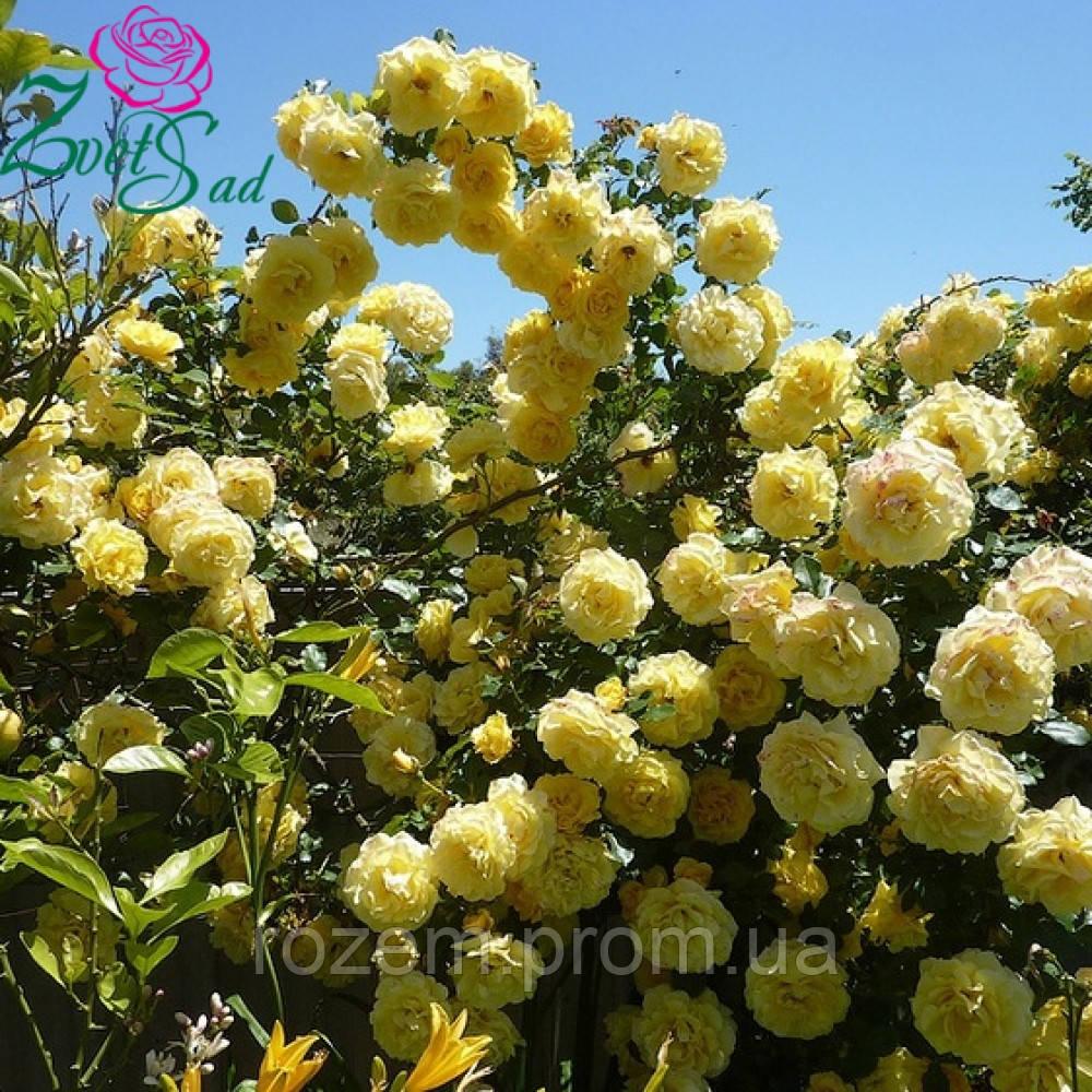роза плетистая казино энциклопедия роз