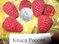 Малина Краса России (К-110)