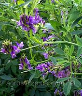 Люцерна посевная, семена люцерны, посевной