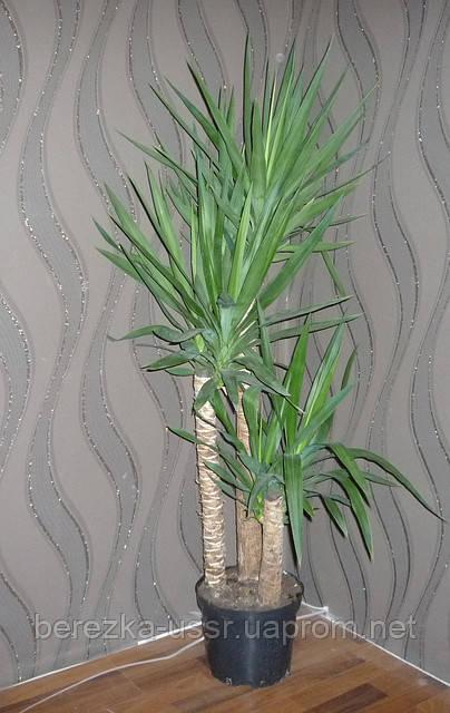 Пальма Юкка уход, виды растения