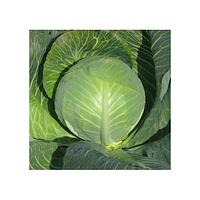 Семена капусты белокачанной Одиссей F1, NongWoo Bio (Корея), упаковка 2500 семян
