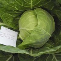 Семена капусты белокачанной ранней Пикси F1, Dorsing Seeds (США), упаковка 1000 семян