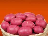 Інфініті насіннєва картопля овальна рання 1 репродукція 20 кг