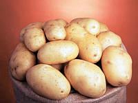 Банба насіннєва картопля овальна рання 1 репродукція 20 кг