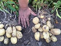 Озіріс насіннєва картопля овальна рання 2 репродукція 20 кг