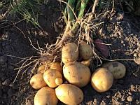 Крістел насіннєва картопля овальна середньорання 2 репродукція 20 кг