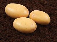 Нектар насіннєва картопля овальна середньорання 1 репродукція 20 кг