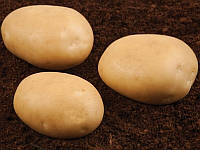 Савана насіннєва картопля овальна середньостигла 1 репродукція 20 кг