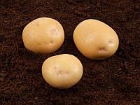 Електра картопля насіннєва картопля кругла середньостигла 1 репродукція 20 кг