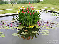 Канна водная (красная, желтая, розовая)