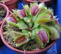 Дионея, венерина мухоловка Dionaea