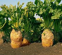 Семена высокоурожайной кормовой свеклы Урсус