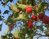 Семена боярышника сортовые