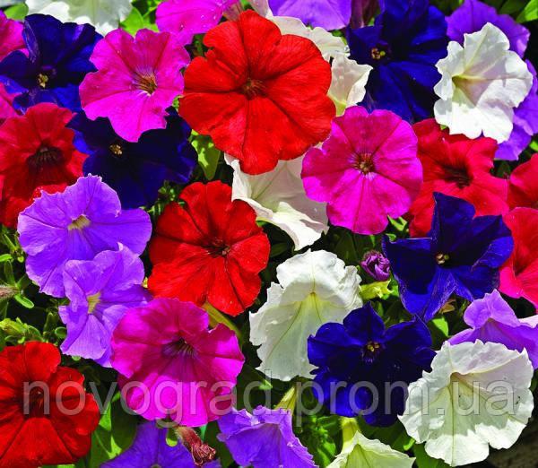 петуния мелкоцветковая