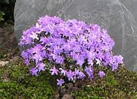 Рододендрон карликовый Impeditum (Rhododendron impeditum ) , горшок 1,5 л