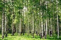 """Фотообои """"Березовый лес"""", Фактурная текстура (холст, иней, декоративная штукатурка)"""
