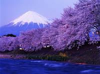 """Фотообои """"Фиолетовые цветущие деревья"""", Фактурная текстура (холст, иней, декоративная штукатурка)"""