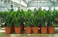 Замиокулькас - Долларовое дерево (Zamioculcas d 21)