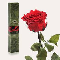 Долгосвежая живая роза Florich в подарочной упаковке  - АЛЫЙ РУБИН (5 карат на коротком стебле)