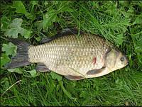 Караси, рыба  продам речная рыба, продам живую рыба, мороженая, копченая
