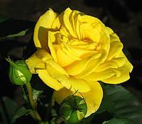 Роза плетистая Голдштерн.