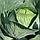 Семена капусты Адаптор F1 2 500с, фото 4