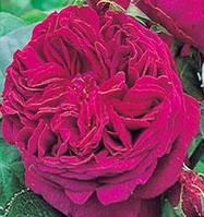 Роза «Фальстаф». Английская роза.