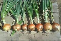 Семена репчатого лука для хранения и переработки сорт Халцедон
