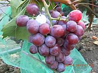Саженцы винограда Сенатор