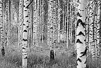 """Флизелиновые фотообои """"Деревья"""" 368х248 см"""