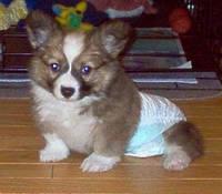 Памперсы и трусы для собак