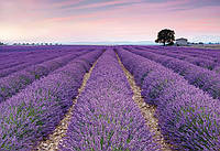 Флизелиновые фотообои Цветы лаванды  размер 368 х 248 см