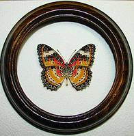 Сувенир - Бабочка в рамке Cethosia cyane. Оригинальный и неповторимый подарок!