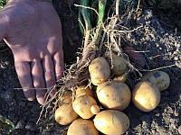 Кристел сорт картофеля 2 репр 12грн/кг