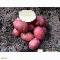 Кристина сорт картофеля 1 репр. 16грн/кг