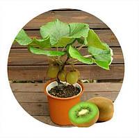 Киви семена насіння бонсай 10 шт. Акція