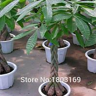 Денежное дерево семена насіння бонсай 10 шт.