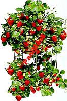Клубника Вьющаяся Сладкая  10шт. Семян + подарок