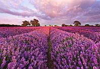 Komar 1-615 Lavendel Фотообои на стену «Цветы лаванда»