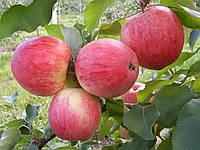 Саженцы яблони сорт Мелба