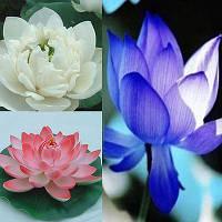 Лотос орехоносный набор 3 цветов 3 семени