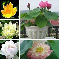 Лотос орехоносный набор 4 цветов 4 семени