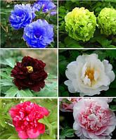 Пион древовидный набор 6 цветов 6 семян