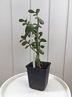 Бонсай крассула -денежное дерево-растение